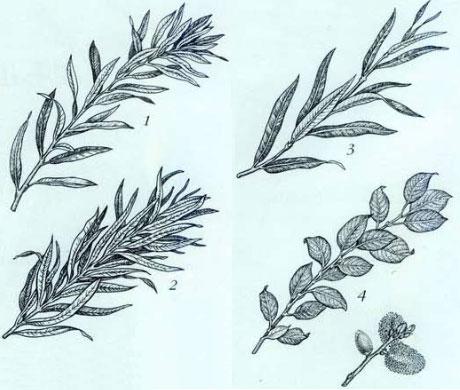 Ива для плетения сорт